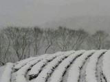 Taiwan's Winter Oolongs